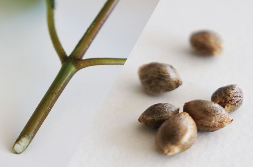 Growing Cannabis from Cuttings vs Seeds